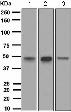 Western blot - Anti-Transcription factor AP-2-alpha antibody [EPR2688(2)] (ab108311)