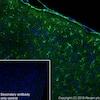 Immunohistochemistry (Frozen sections) - Anti-BDNF antibody [EPR1292] (ab108319)