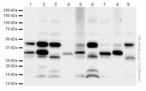 Western blot - Anti-BDNF antibody [EPR1292] (ab108319)