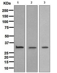 Western blot - Anti-Annexin V/ANXA5 antibody [EPR3979] (ab108321)