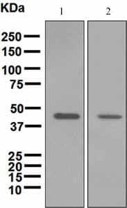 Western blot - Anti-ADFP antibody [EPR3713] (ab108323)