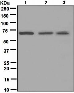 Western blot - Anti-CDC7 antibody [EPR4730] (ab108332)