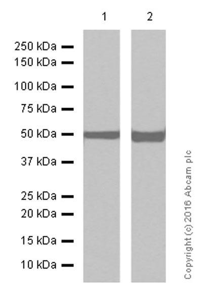 Western blot - Anti-beta Tubulin antibody [EPR1330] (ab108342)