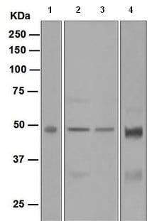 Western blot - Anti-Aurora A antibody [EPR5026] - Centrosome Marker (ab108353)