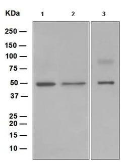 Western blot - Anti-AVEN antibody [EP4721] (ab108354)