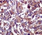 Immunohistochemistry (Formalin/PFA-fixed paraffin-embedded sections) - Anti-Caspase-1 antibody [EPR4321] (ab108362)