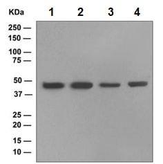 Western blot - Anti-EDG3/S1P3 antibody [EPR4540(2)] (ab108370)