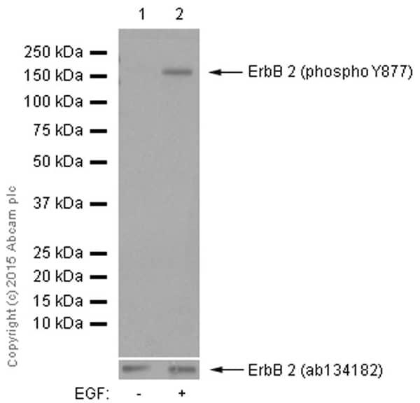 Western blot - Anti-ErbB2 / HER2 (phospho Y877) antibody [EP2324Y] (ab108371)