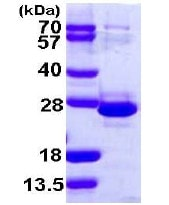 SDS-PAGE - Recombinant Human TCEAL1 protein (ab108377)