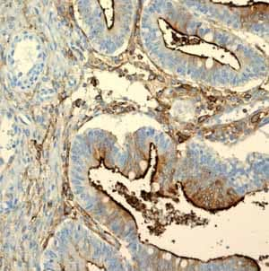 Immunohistochemistry (Formalin/PFA-fixed paraffin-embedded sections) - Anti-CD13 antibody [EPR4059] (ab108382)