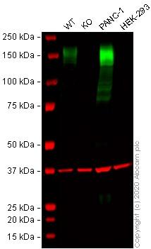 Western blot - Anti-CD13 antibody [EPR4059] (ab108382)