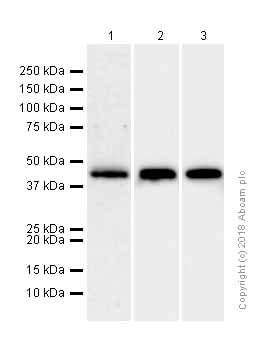 Western blot - Anti-Creatine kinase B type antibody [EPR3926] (ab108388)