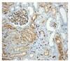 Immunohistochemistry (Formalin/PFA-fixed paraffin-embedded sections) - Anti-CEACAM1 antibody [EPR4048] (ab108390)