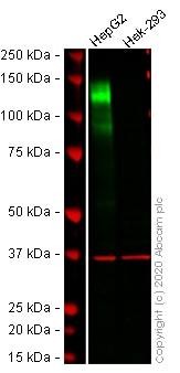 Western blot - Anti-CEACAM1 antibody [EPR4048] (ab108390)