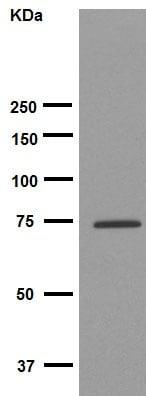 Western blot - Anti-Calpain 1 antibody [EPR3319] (ab108400)