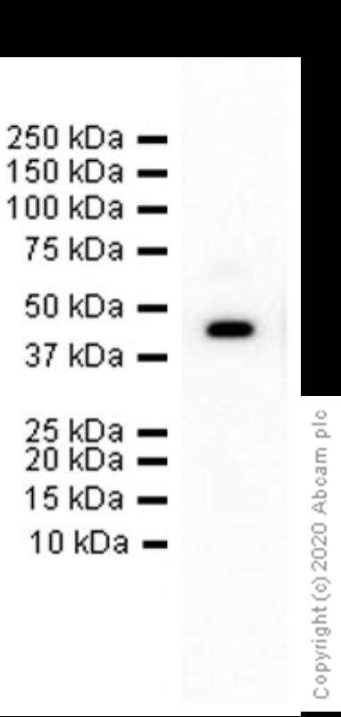 Western blot - Anti-CD38 antibody [EPR4106] (ab108403)