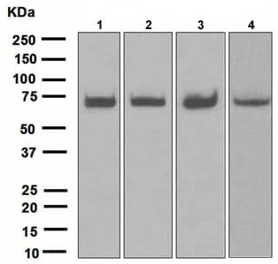 Western blot - Anti-HSPA2 antibody [EPR4596] (ab108416)