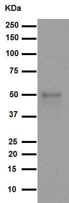 Western blot - Anti-FOXA2 antibody [EPR4466] (ab108422)