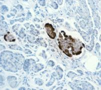 Immunohistochemistry (Formalin/PFA-fixed paraffin-embedded sections) - Anti-Glucagon antibody [EPR3070-45] (ab108426)