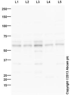 Western blot - Anti-DDX19A antibody (ab108462)
