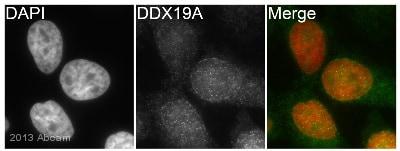 Immunocytochemistry/ Immunofluorescence - Anti-DDX19A antibody (ab108462)