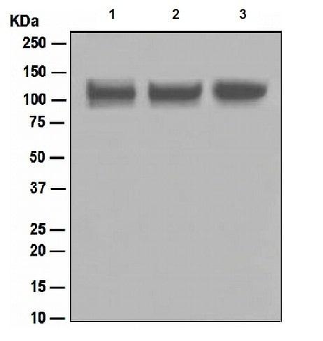 Western blot - Anti-ITCH/AIP4 antibody [EPR4936] (ab108515)