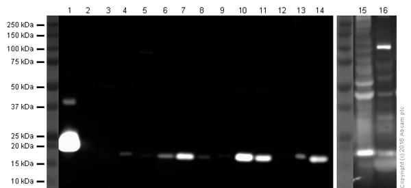 Western blot - Anti-Iba1 antibody (ab108539)