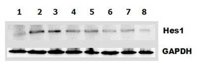 Functional Studies - Recombinant Mouse DLL1 protein (ab108549)