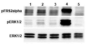 Functional Studies - Recombinant human FGF21 + IgG1 fusion protein (Fc Chimera Active) (ab108556)