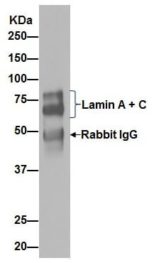 Immunoprecipitation - Anti-Lamin A + Lamin C antibody [EPR4100] - Nuclear Envelope Marker (ab108595)
