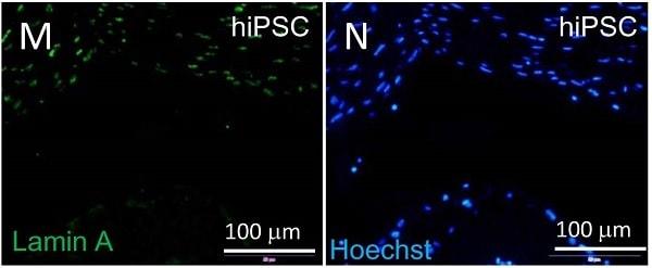 Immunocytochemistry/ Immunofluorescence - Anti-Lamin A + Lamin C antibody [EPR4100] - Nuclear Envelope Marker (ab108595)