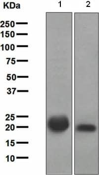 Western blot - Anti-Ras antibody [EPR3255] (ab108602)