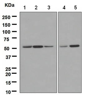 Western blot - Anti-ING3 antibody [EPR3808] (ab108610)