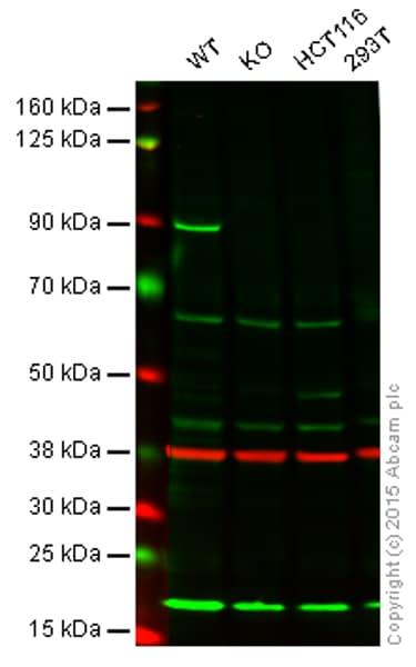 Western blot - Anti-MLH1 antibody [EPR3893] (ab108622)