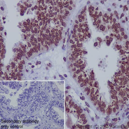Immunohistochemistry (Formalin/PFA-fixed paraffin-embedded sections) - Anti-Lamin A + Lamin C antibody [EPR4068] (ab108922)
