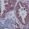 Immunohistochemistry (Formalin/PFA-fixed paraffin-embedded sections) - Anti-Lamin A + Lamin B1 + Lamin C antibody [EPR4068] (ab108922)