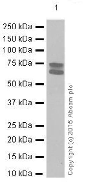 Western blot - Anti-Lamin A + Lamin B1 + Lamin C antibody [EPR4068] (ab108922)