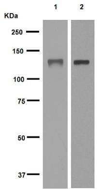 Western blot - Anti-MCM2 antibody [EPR4120] (ab108935)