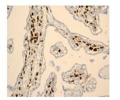 Immunohistochemistry (Formalin/PFA-fixed paraffin-embedded sections) - Anti-Hes1 antibody [EPR4226] (ab108937)