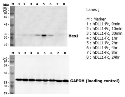 Functional Studies - Recombinant Human DLL1 protein (ab108952)