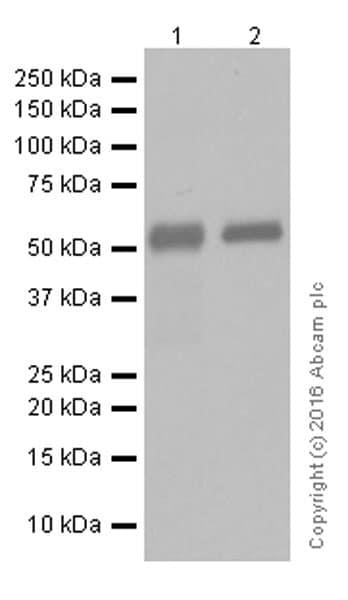 Western blot - Anti-IgG1 antibody [EPR4417] (ab108969)