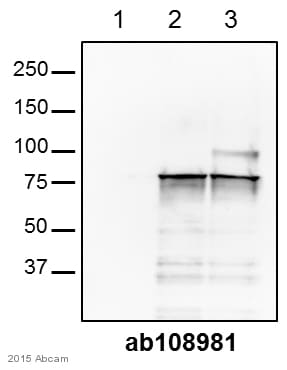 Western blot - Anti-SENP1 antibody [EPR3844] (ab108981)