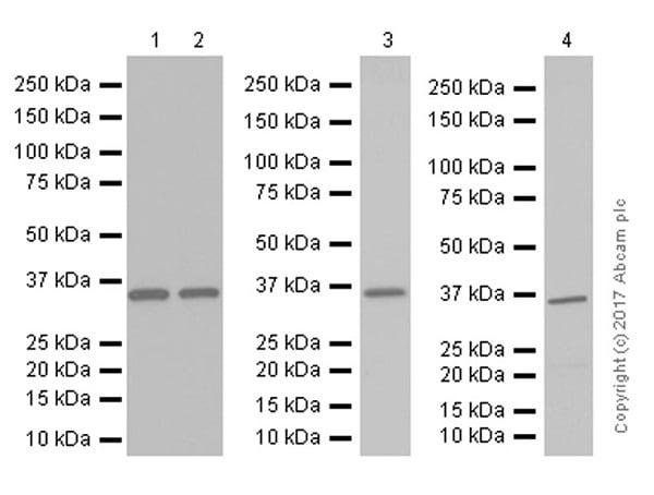 Western blot - Anti-Thymidylate Synthase antibody [EPR4545] (ab108995)
