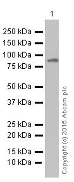 Western blot - Anti-TPOR/MPL antibody [EPR4194] (ab109003)
