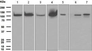 Western blot - Anti-PI 3 Kinase p110 delta antibody [EPR386] (ab109006)