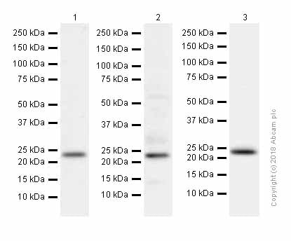 Western blot - Anti-Rab4 antibody [EPR3043] - Early Endosome Marker (ab109009)