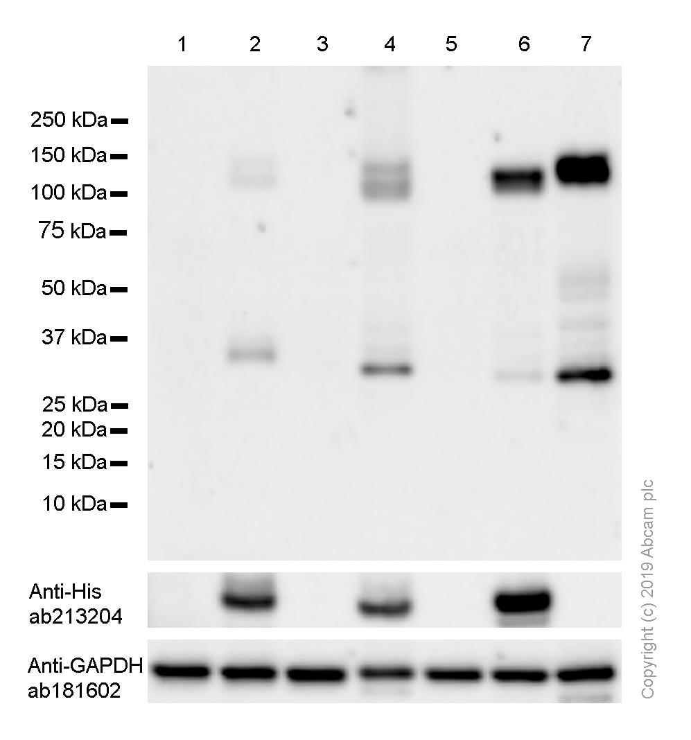 Western blot - Anti-TrkA + TrkB antibody [EPR1104(2)] (ab109010)