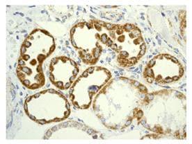 Immunohistochemistry (Formalin/PFA-fixed paraffin-embedded sections) - Anti-GRIM19 antibody [EPR4471(2)] (ab109017)
