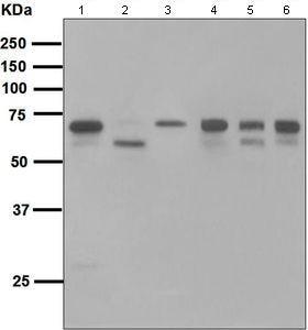 Western blot - Anti-COX1 / Cyclooxygenase 1 antibody [EPR5866] (ab109025)