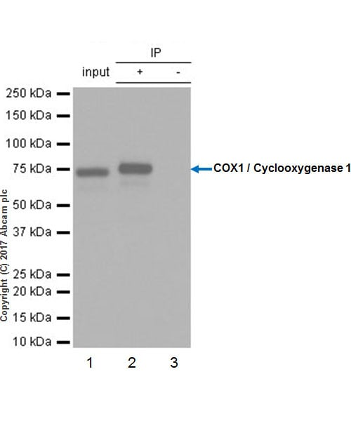 Immunoprecipitation - Anti-COX1 / Cyclooxygenase 1 antibody [EPR5866] (ab109025)